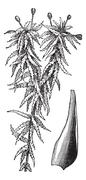 Small red peat moss or Sphagnum capillifolium vintage engraving Stock Illustration