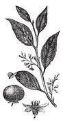 Styrax Benzoin or gum benjamin tree, vintage engraving. Stock Illustration