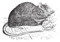 Brown rat (Mus Decumanus) or common rat, vintage engraving. Piirros
