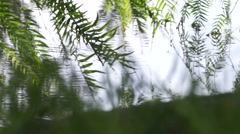 Weeping willow tree branches touch the water a strong wind blowing - green tree Stock Footage