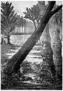 The giant trees of the Carboniferous period. Sigillaires, lepidodendrons fern Stock Illustration