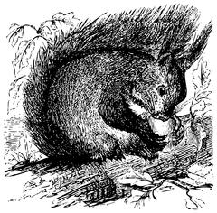 Red squirrel or Sciurus vulgaris chewing on an acorn Stock Illustration
