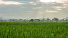 Time lapse - Beautiful rice field and dew in the morning (zoom) Stock Footage