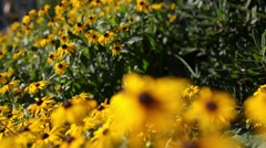 Rudbeckia is plant genus in sunflower family Stock Footage