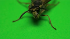 Wasp on a green background Stock Footage