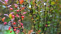 Berberis thunbergii (Japanese barberry) Stock Footage