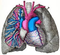 The pulmonary artery and aorta, vintage engraving. Stock Illustration