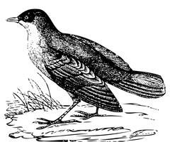 White-throated Dipper old engraving Stock Illustration