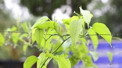 Rain falling on sacha inchi peanut in garden Stock Footage