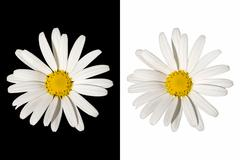 White daisy flower on isolated background Stock Photos