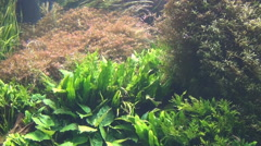 Tropical fish of rivers, underwater Stock Footage