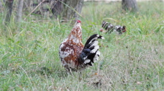 Small rooster Stock Footage