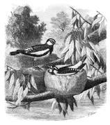 The Pied-Grallina (Grallina australis) and its nest. Drawing-Freeman, vintage Stock Illustration
