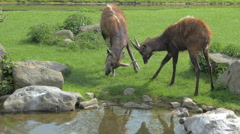 Sitatunga butting horns Stock Footage