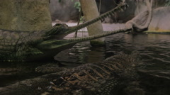 False gharial with open jaws Stock Footage