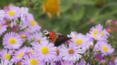 Butterfly and flower Stock Footage