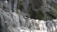 Arctic auks bird Stock Footage