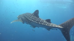 Whale shark and many small fish around Stock Footage