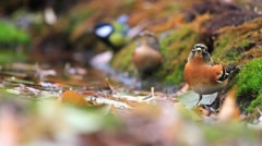 Brambling drink water and flying away Stock Footage