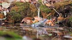Eurasian blue tit on watering Stock Footage