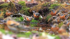 Flock of many bramblings on watering Stock Footage