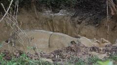 Bornean rhino sleeping in the mud bath, moves the ears Stock Footage
