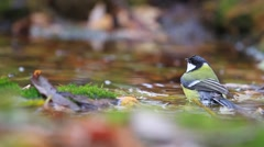 Great tit on the water among fallen leaves Stock Footage