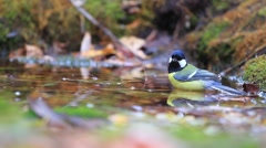 Great tit on watering Stock Footage