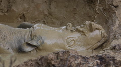 Bornean rhino sleeping in the mud bath Stock Footage