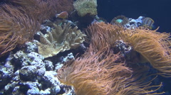 Anemones and Corals Stock Footage