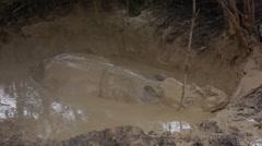 Sumatran rhinos in the mud bath Stock Footage