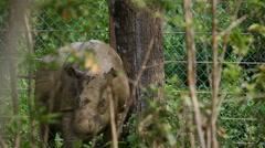 Sabah Rhino walking Stock Footage
