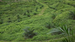 Panoramic view of Huge Palm oil Plantation, deforestation, Malaysia Stock Footage