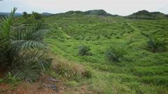 Huge Palm Oil Plantation, Malaysia Stock Footage