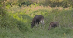 Moose (alces alces) cow and calf foraging in marshland Stock Footage