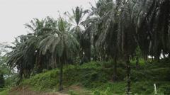 Palm oil Plantation in Borneo Stock Footage