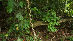 Bornean rainforest, filming from the ground, wide angle Stock Footage