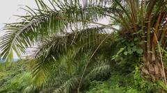 Palm oil, Malaysia Stock Footage