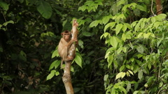 Long-tailed macaque watching Stock Footage