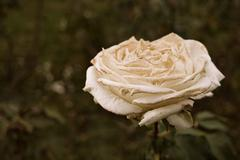 White rose flower dying on steam a lot of space for text selective focus. Wilted Stock Photos