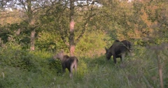 Moose (alces alces) cow and calf foraging in evening sun Stock Footage