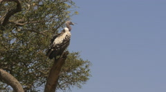 A ruppell's vulture on tree in masai mara game reserve, kenya Stock Footage