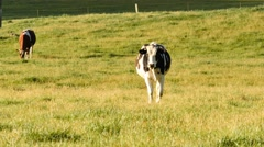 Milk cow calves on dairy farm Stock Footage