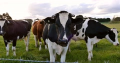 Dairy cattle cow farming Stock Footage