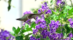 4k close up of hummingbird with purple flowers Stock Footage