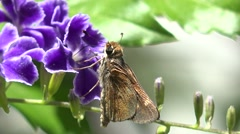 4k gold moth with a bug climbing into its mouth Stock Footage