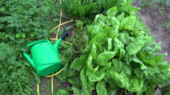 Rain falling on chicory and watering can Stock Footage