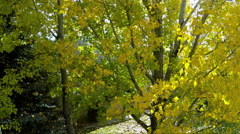 Aerial-climbing up cottonwood tree with golden autumn leaves Stock Footage