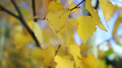 Pigmented yellow autumn birch leaves Stock Footage