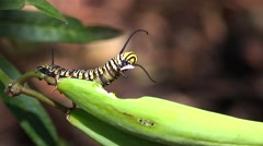 4k Incredible - caterpillar eating a seed pod of a Butterfly Milkweed plant - Stock Footage